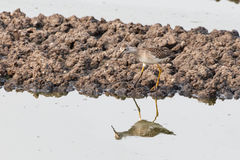 Greater yellowlegs bird Royalty Free Stock Images