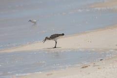 Greater Yellowlegs Eating a Sea Snail, Playalinda Beach, Merritt Stock Images