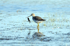 Greater Yellowlegs With Frog Royalty Free Stock Photo