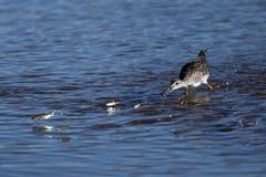 Greater Yellowlegs going after jumping fish (Tringa melanoleuca) Royalty Free Stock Photos