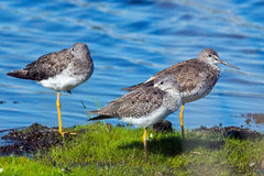 Greater Yellowlegs Royalty Free Stock Images