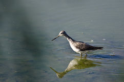 Greater Yellowlegs Hunting in the Shallow Water Royalty Free Stock Image