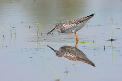 Greater Yellowlegs Reflections Royalty Free Stock Photography