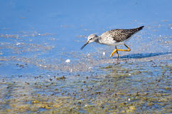 Greater Yellowlegs Sandpiper Royalty Free Stock Photos