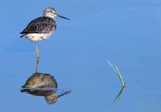 Greater Yellowlegs (Tringa melanoleuca). In blue water with reflection stock photography