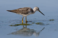 Greater Yellowlegs (Tringa melanoleuca) Stock Images
