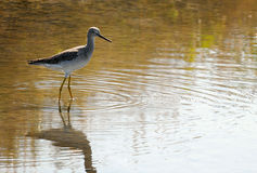 Greater Yellowlegs - Tringa melanoleuca Stock Photo