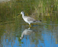 Greater Yellowlegs - Tringa melanoleuca Stock Photos