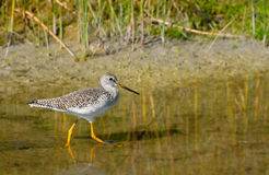 Greater Yellowlegs - Tringa melanoleuca Royalty Free Stock Image