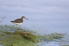 Greater Yellowlegs Royalty Free Stock Photos