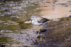 Greater Yellowlegs (Tringa melanoleuca) looking for food on the shallow and muddy water of Barker Dam, Joshua Tree National Park,. South California stock photos