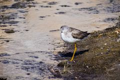 Greater Yellowlegs (Tringa melanoleuca) looking for food on the shallow and muddy water of Barker Dam, Joshua Tree National Park,. South California royalty free stock images