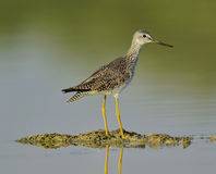 Greater Yellowlegs (Tringa Melanoleuca) Royalty Free Stock Photo