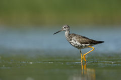 Greater yellowlegs, Tringa melanoleuca Stock Photos