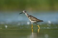 Greater yellowlegs, Tringa melanoleuca Royalty Free Stock Images