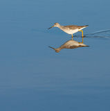 Greater Yellowlegs Stock Photography