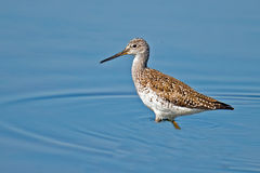 Greater Yellowlegs. Walking in the bay Royalty Free Stock Photos