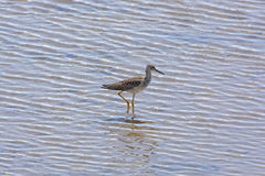 Greater Yellowlegs in a Wetland Habitat Stock Photo