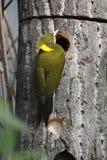 Greater yellownape Stock Photo