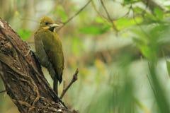 Greater yellownape Royalty Free Stock Image