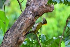 Greater Yellownape bird Stock Images