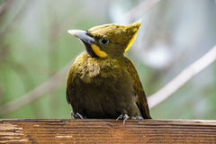 Greater yellownape Royalty Free Stock Photo