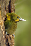 Greater Yellownape, Picus flavinucha, on the tree hole nest, detail portrait of green woodpecker, India. Greater Yellownape, Picus flavinucha, on the tree Stock Images