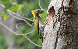Greater Yellownape woodpecker (Picus flavinucha) Stock Images