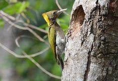 Greater Yellownape woodpecker (Picus flavinucha) Royalty Free Stock Image