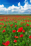 Greatest poppies meadow Royalty Free Stock Photo