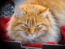 Greatest red color cat sleeps Stock Photography