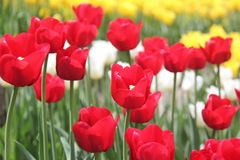 Greatest tulips of the world Stock Photo