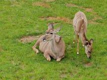 Greather kudu antelope - front view Stock Photos
