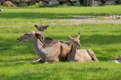 Greather kudu antelope lying Stock Images