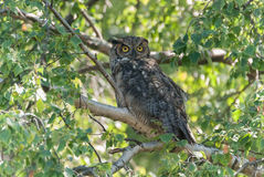 GreatHorn Owl Royalty Free Stock Photos
