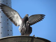 The greatness of love. A male pigeon trying to get noticed by the female Stock Photo