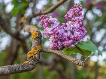 Lonely Bunch of Lilac on an Ornate Branch Royalty Free Stock Images