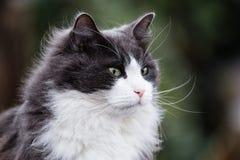 Greay και άσπρη γάτα που φαίνονται wistful Στοκ Φωτογραφίες