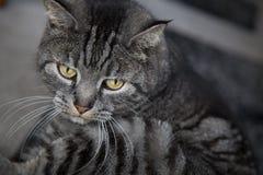 Greay-Katzen-Gelbaugen schließen oben Stockfotos