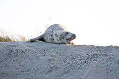 Greay seal at the beach Royalty Free Stock Photo