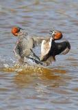 grebe бой немногая Стоковые Фото