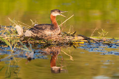 Grebe гнездиться Red-necked (grisegena Podiceps). стоковое фото rf