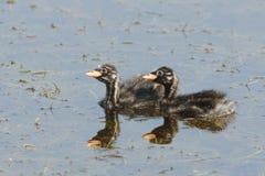 grebe меньшие детеныши заплывания Стоковая Фотография
