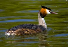 Grebe Royalty Free Stock Images