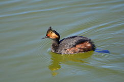 grebe Foto de Stock Royalty Free