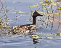 Grebe with Babies Royalty Free Stock Photography