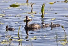 Grebe with Babies Stock Photo