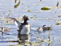 Grebe with Babies Stock Photography