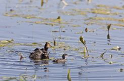 Grebe with Babies Royalty Free Stock Photo