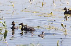Grebe with Babies Royalty Free Stock Images